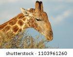 close up portrait of giraffe ...   Shutterstock . vector #1103961260
