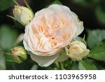 Small photo of Rose type named pastella in close-Up isolated from a rosarium in Boskoop the Netherlands