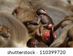 young hamadryas baboon ( Papio hamadryas) hanging on to it's mother in the crowd - stock photo