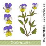 colored viola tricolor in hand... | Shutterstock .eps vector #1104040796