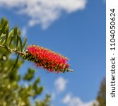 Small photo of Melaleuca citrina, commonly known as common red, crimson or lemon bottlebrush, is a plant in the myrtle family.