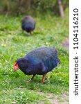 Small photo of Takahe New Zealand