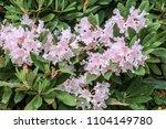 yakushima rhododendron ... | Shutterstock . vector #1104149780