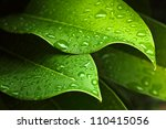 Green Leaf With Water Drops For ...