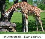 the giraffe  giraffa...   Shutterstock . vector #1104158408