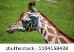 the giraffe  giraffa...   Shutterstock . vector #1104158438