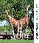 the giraffe  giraffa...   Shutterstock . vector #1104158444