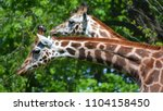 the giraffe  giraffa...   Shutterstock . vector #1104158450
