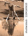 the giraffe  giraffa...   Shutterstock . vector #1104160610