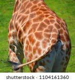 the giraffe back  giraffa...   Shutterstock . vector #1104161360