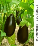 eggplant fruits growing in the... | Shutterstock . vector #110418176