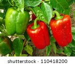 Red And Green Peppers Growing...