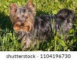 little dog yorkshire terrier...   Shutterstock . vector #1104196730