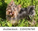 little dog yorkshire terrier...   Shutterstock . vector #1104196760