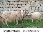 white sheep for milk and wool... | Shutterstock . vector #1104203879