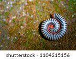 Small photo of close up black and white millipede rolling on mossy ground