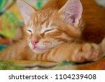 Stock photo ginger hiding kitten peeking frightened ginger kitten frightened kitten on the couch kitten behind 1104239408