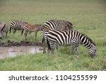 ngorogoro national park ... | Shutterstock . vector #1104255599