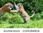 Siberian Tigers Are Fighting...