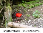 red shiny ibis standing in the...   Shutterstock . vector #1104286898