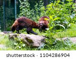 brown wolverine outside on a...   Shutterstock . vector #1104286904