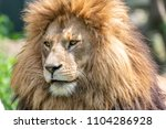 big male african lion with...   Shutterstock . vector #1104286928