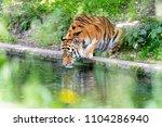siberian tiger in the...   Shutterstock . vector #1104286940