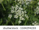 little beautiful white flowers... | Shutterstock . vector #1104294233
