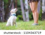 labrador retriever in park.... | Shutterstock . vector #1104363719