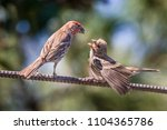 House Finch Feeding A Young...
