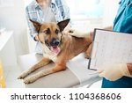 cute shepherd dog looking at... | Shutterstock . vector #1104368606