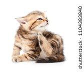 british short hair kitten... | Shutterstock . vector #1104383840