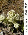 blossom of a butterbur in april ... | Shutterstock . vector #1104417758