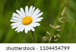 White Ox Eye Daisy And Grass...