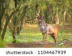 Big Fallow Deer Buck  Dama Dam...