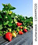 red and green strawberries in... | Shutterstock . vector #1104499220
