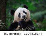panda bear looking at the...   Shutterstock . vector #1104515144