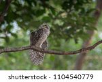 bird  spotted owlet  athene... | Shutterstock . vector #1104540779