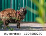 Cat Walks Down The Street On A...