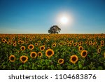 Field Of Sunflowers And Lonely...