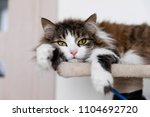 striped brown cat resting on... | Shutterstock . vector #1104692720