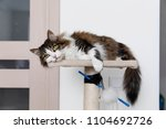striped brown cat resting on... | Shutterstock . vector #1104692726