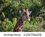 giraffe or giraffa  head facing ...   Shutterstock . vector #1104706028