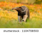 anteater  cute animal from... | Shutterstock . vector #1104708503