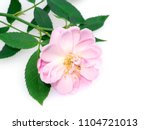 Stock photo close up pink of damask rose flower with leaves on white background rosa damascena 1104721013