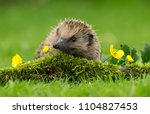 hedgehog  wild  native ... | Shutterstock . vector #1104827453