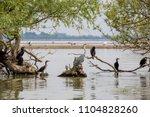 grey heron bird  latin ardea... | Shutterstock . vector #1104828260