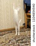 white kitten albino playing... | Shutterstock . vector #1104854540