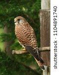 kestrel  falco tinnunculus   ... | Shutterstock . vector #1104891740