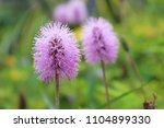 small violet flower | Shutterstock . vector #1104899330
